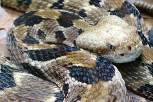Crotalus horridus Author: Tim Vickers